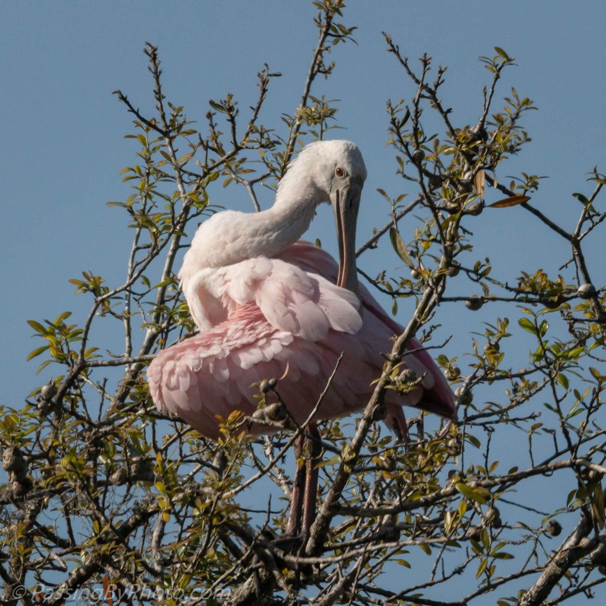 Rosette Spoonbill, Treetop Primping