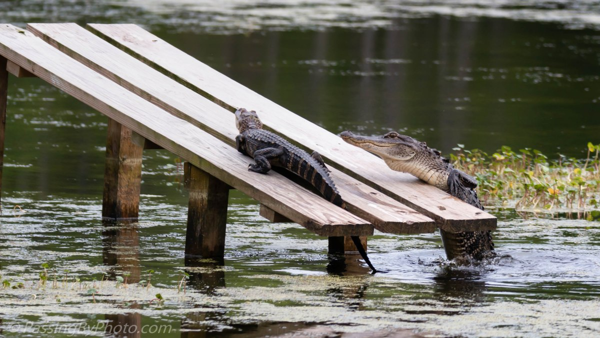 Alligator Coming Up