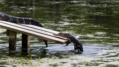 Alligator Climbing Onto Ramp