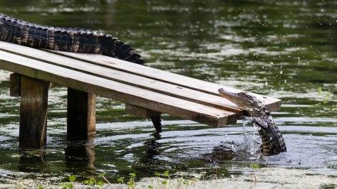 Alligator Falling Off Ramp