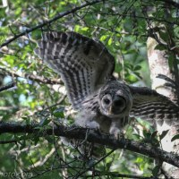 Barred Owl Owlet Balancing Practice