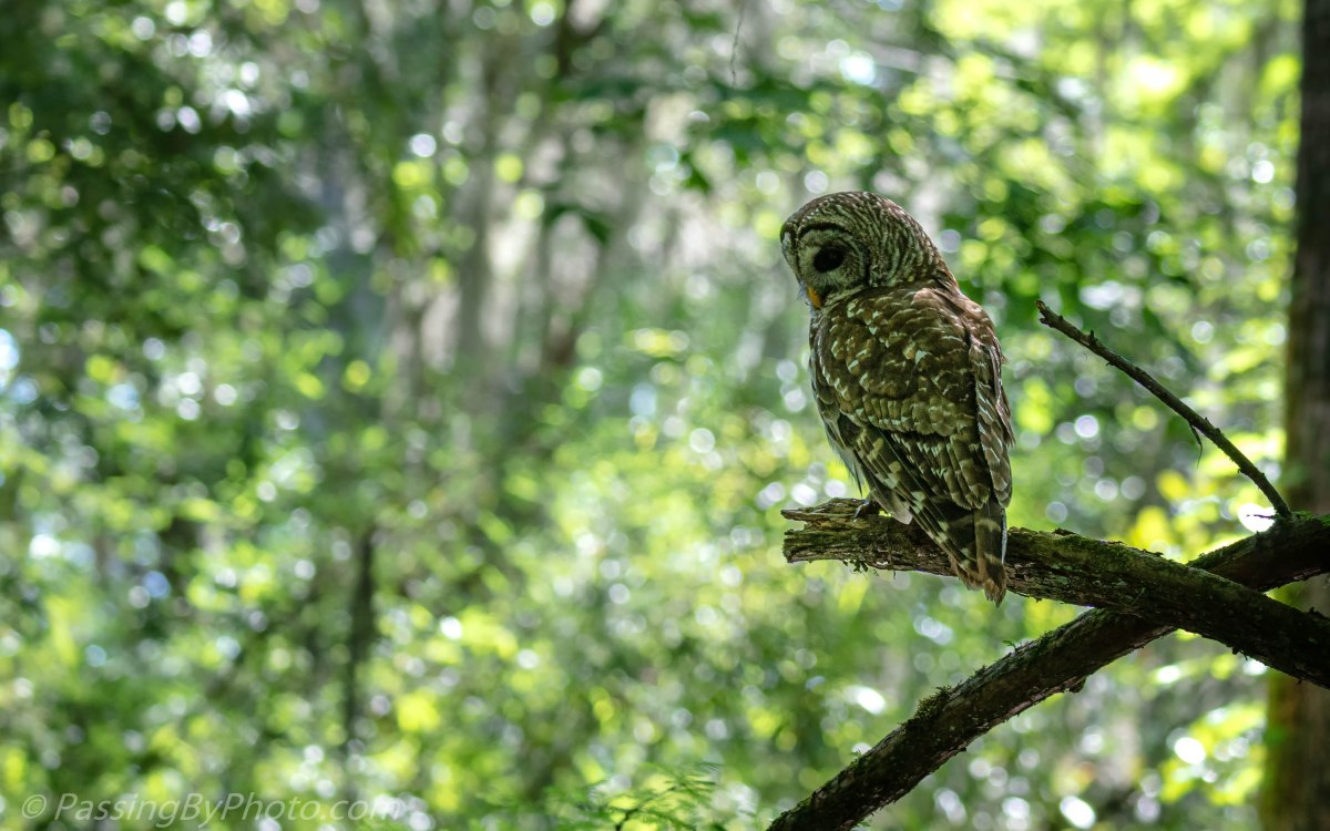Barred Owl Jeweled Background