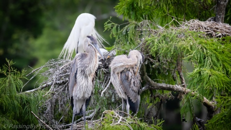 Great Blue Heron Chicks May 22