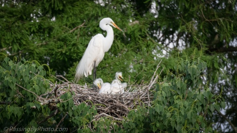 Great Egret Triplet Chicks