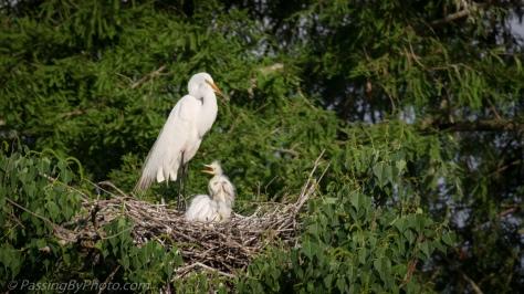 Great Egret Triplet Chicks