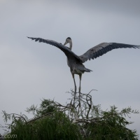 Great Blue Heron Chick Test Flight