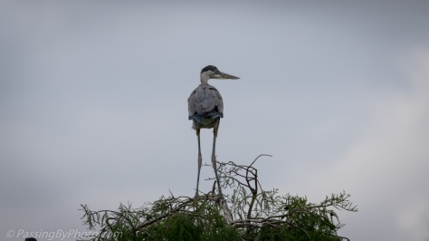 Great Blue Heron Chick Test Wings