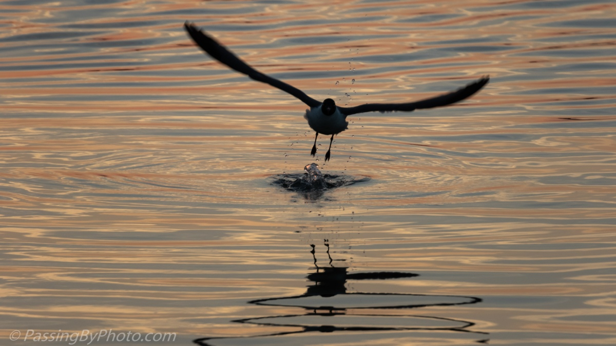 Laughing Gull, Last Dive of the Day