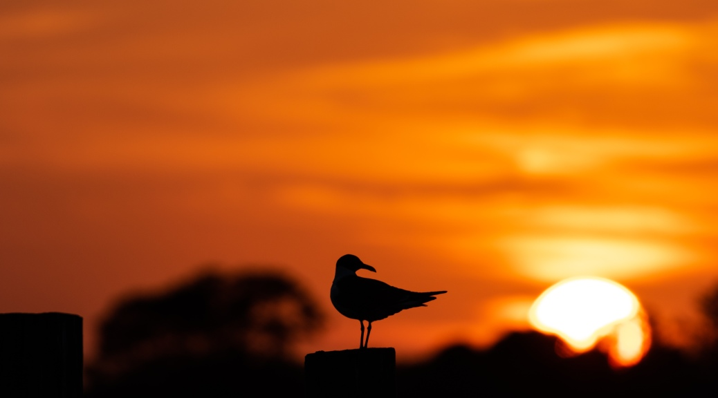 Laughing Gull Back-lit by Sunset