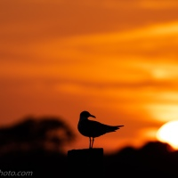 Laughing Gull and Sunset
