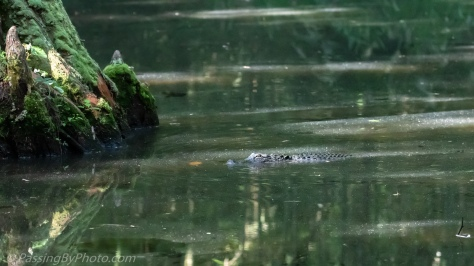 Alligator Swimming in Pond