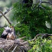 New Anhinga Chick