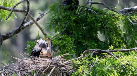 Female Anhinga and Chick