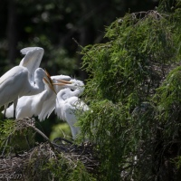 Great Egret Chick Feeding Time