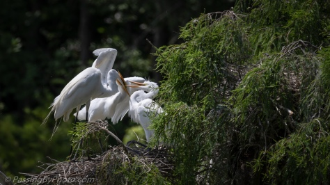 Great Egret Chicks Getting Fed