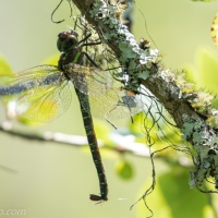 Dragonfly on Underside of Branch
