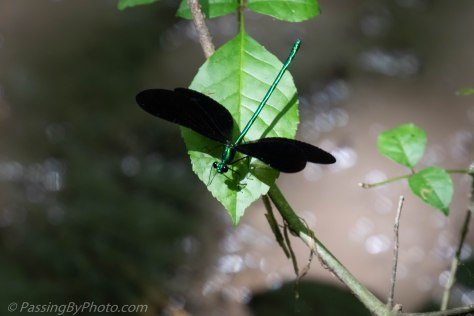 Ebony Jewelwing Damselfly