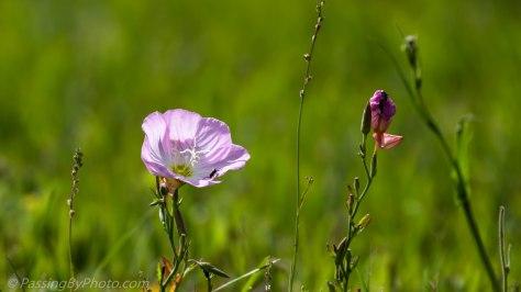 Wild Pink