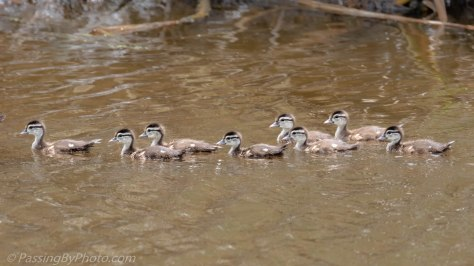 Female Wood Duck with Eight Ducklings