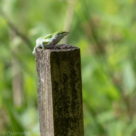 Green Anole Shedding His Skin
