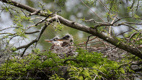 Great Blue Heron Chicks March 31