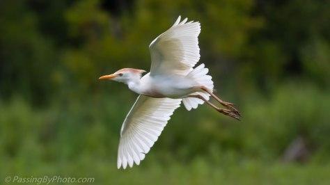 Cattle Egret, Breeding Colors