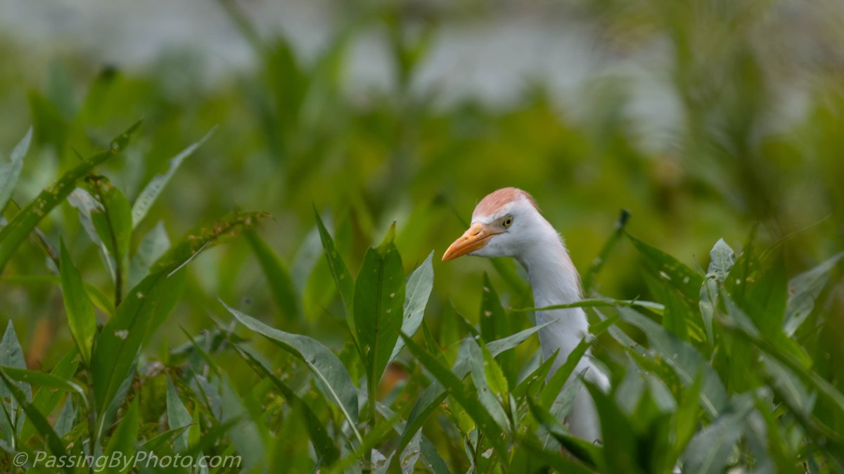 Cattle Egret in Breeding Plumage