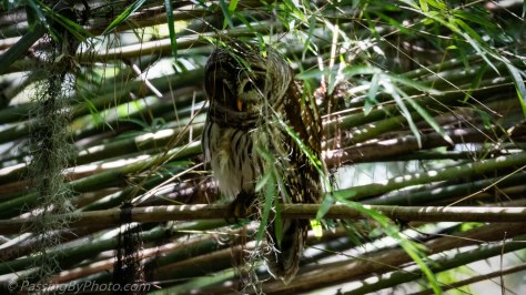 Barred Owl in Bamboo