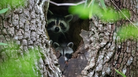 Mother Raccoon and Kit