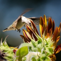 Female Ruby-throated Hummingbird In a Sunflower