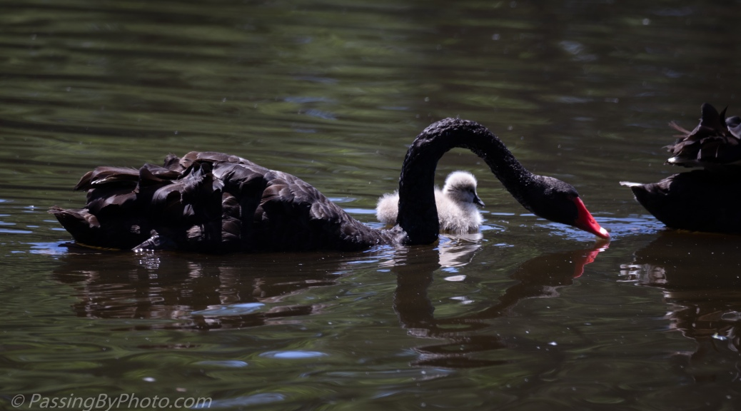 Black Australian Swans with One Cygnet