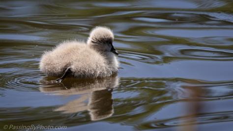 Black Australian Swan Cygnet