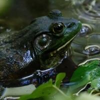 Frog, Big