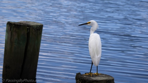 Snowy Egret on Pylon