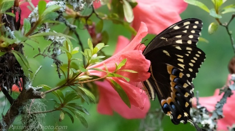 Swallowtail Butterfly on Azalea