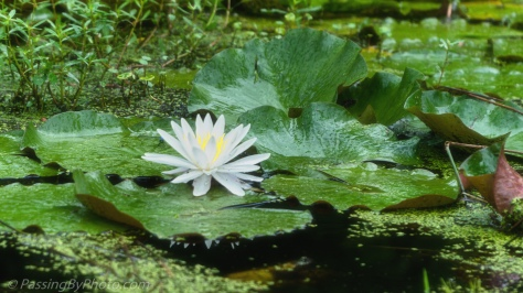 Water Lily in Black Water Swamp