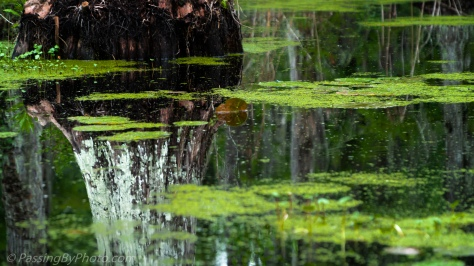 Reflections in Black Water Swamp