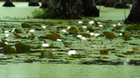 Water Lilies in Black Water Swamp
