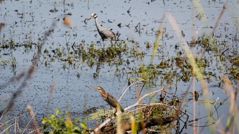 Green Heron and Yellow-crowned Night-Heron