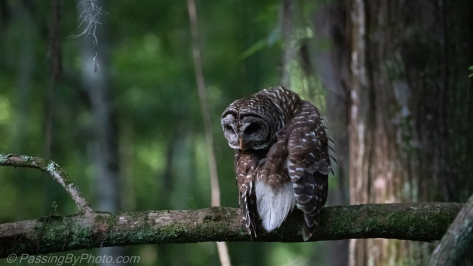Barred Owl Grooming