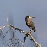 Green Heron on a Branch