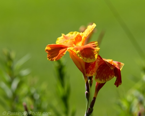 Orange Canna Lily Bloom