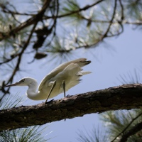 Juvenile Little Blue Heron: Wait For Me!