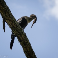 Anhinga in Pine Tree