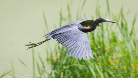 Little Blue Heron Flying By