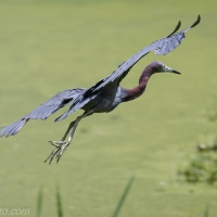 Little Blue Heron Coming In For Landing