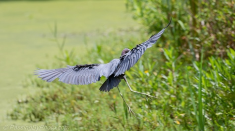 Little Blue Heron Ready to Land