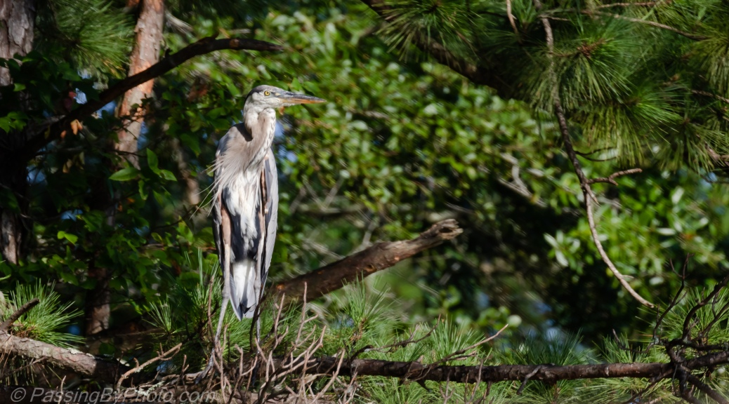 Great Blue Heron in Pine Trees
