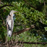 Great Blue Heron in the Pines
