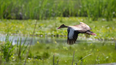 Black-bellied Whistling Duck in Flight